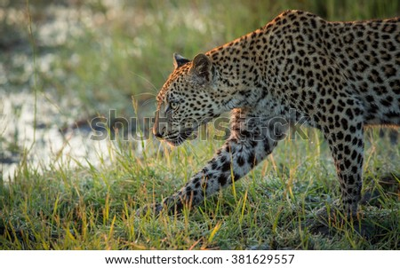One adult african leopard walking in Etosha National Park in Namibia - stock photo