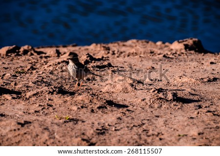 One Adult Kentish Plover Water Bird near a Rock Beach - stock photo
