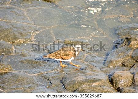 One Adult Kentish Plover Water Bird near a Rock Beach - stock photo
