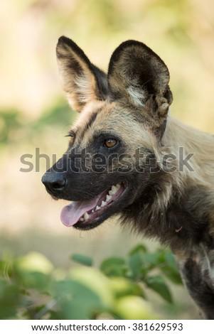 One African Wild Dog portrait in Etosha National Park in Namibia - stock photo
