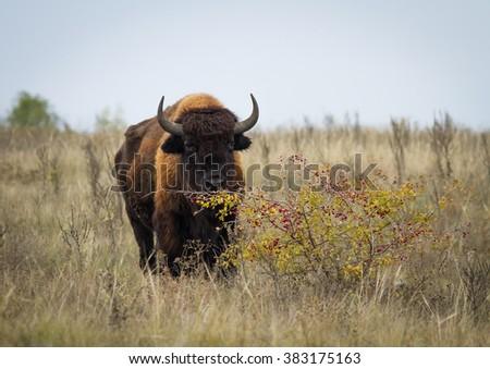 One american bison (bison bison) in autumn steppe. American bison (buffalo) on the autumn grass. American bison near the hawthorn (Crataegus) bush. - stock photo