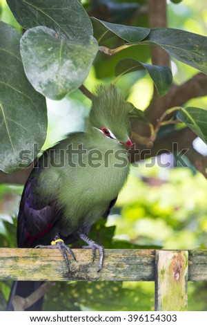 One beautiful fluffy wild animal of Tauraco persa green bird with red beak and eye live on tree in west africa on natural background, vertical picture - stock photo