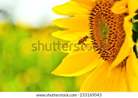 One bee flying nearby a sun flower. - stock photo