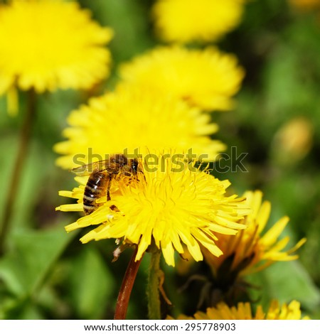 One bee on yellow blooming dandelion outdoor - stock photo