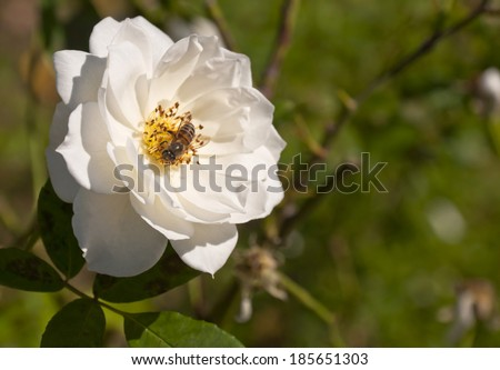 one bees on the white rose in the sunlight - stock photo