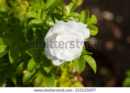 One big flower white rose - stock photo