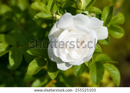 One big flower white rose close up - stock photo