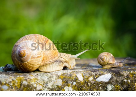 One big snail and one small snail walking on concrete - stock photo