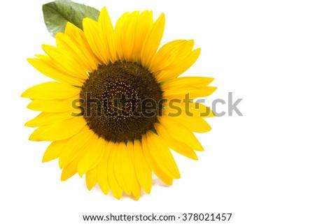 one big sunflower round - stock photo
