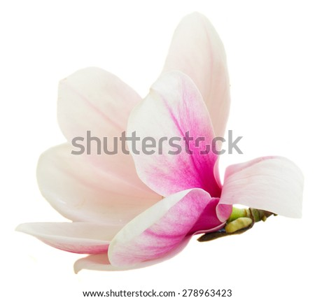one blooming  pink magnolia   flower bud isolated on white background - stock photo