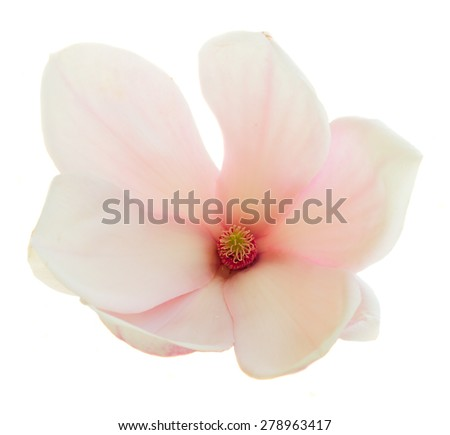 one blooming  pink magnolia   flower isolated on white background - stock photo
