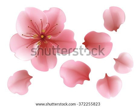 One blossoming pink sakura cherry isolated tree flower with petals against white background template - stock photo