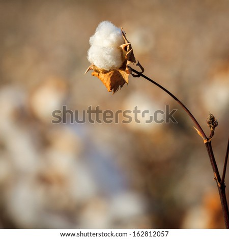 One blown cotton bud on a bright blurry background - stock photo