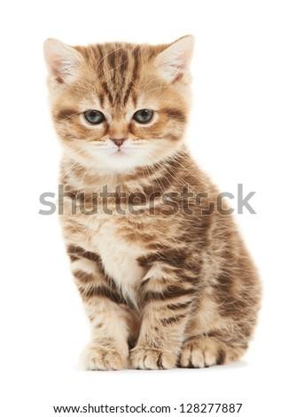 One british shorthair brown kitten cat isolated - stock photo