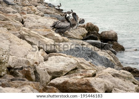One brown pelican standing on the rocks. Florida, Venice, Sarasota, South Jetty, Gulf of Mexico - stock photo