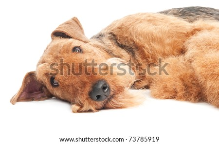 One closeup lying Black brown Airedale Terrier dog isolated on white - stock photo