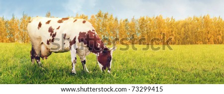 One cow grazing in green meadow - stock photo