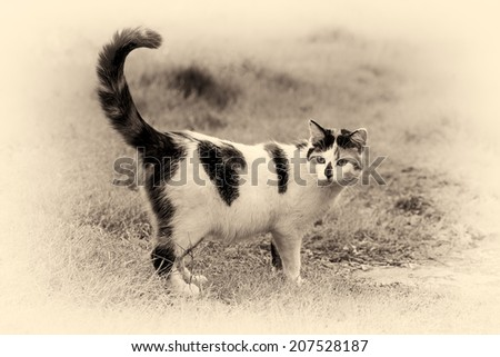 One cute mixed-breed cat standing on grass with its raised tail. Black and white fine art outdoors portrait of domestic cat. - stock photo
