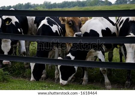 One cute Swiss Brown amongst a herd of Herefords! - stock photo