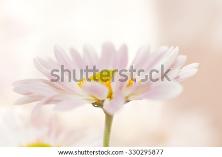 one Daisy on a beige background - stock photo