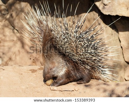 One dangerous porcupine in defensive pose - close view - stock photo