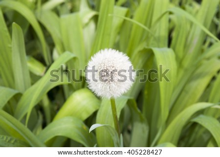 one deflowered dandelion in bright greens of a grass - stock photo