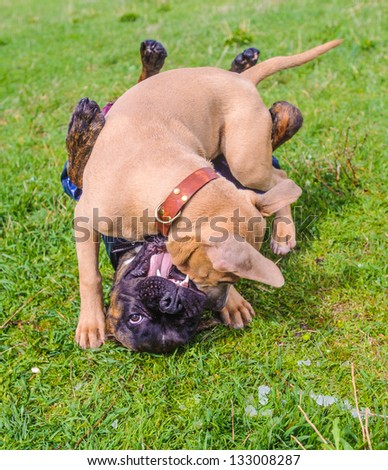 One dog in a costume and the other one with out costume play on the grass on a sunny day - stock photo