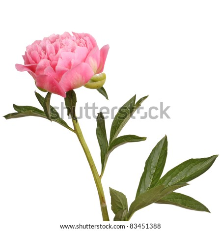 One double flower, stem and leaves of a a pink peony (Paeonia lactiflora) against a white background - stock photo