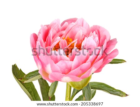 One double flower stem and leaves of a pink peony (Paeonia lactiflora) cultivar isolated against a white background - stock photo