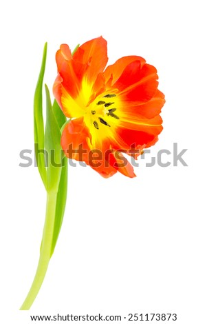 One double petaled orange tulip with leaves and bud. Front  view and isolated on white background. - stock photo