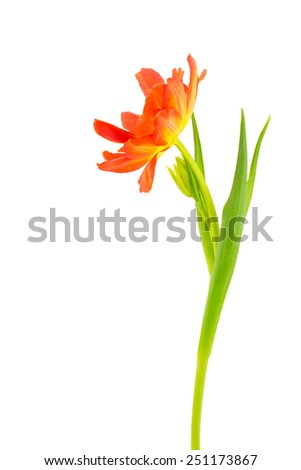 One double petaled orange tulip with leaves and bud. Side view and isolated on white background. - stock photo