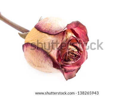One dry red rose on white background. - stock photo