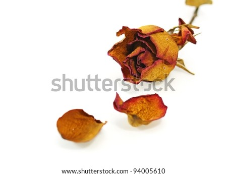 one dry rose on a white background - stock photo