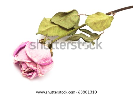 one dry roses on a white background - stock photo