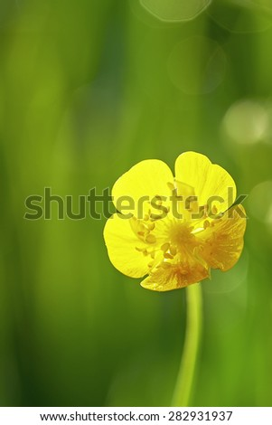 One flower buttercup meadow with blurred background - stock photo
