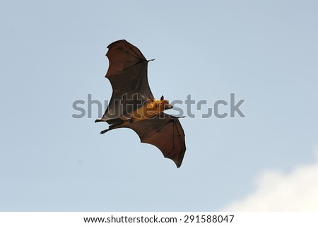 One flying fox on blue sky background - stock photo
