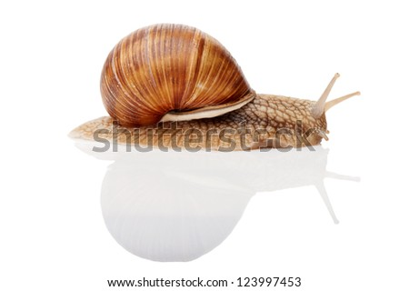 One Garden snail (Helix aspersa) with reflection isolated on white - stock photo
