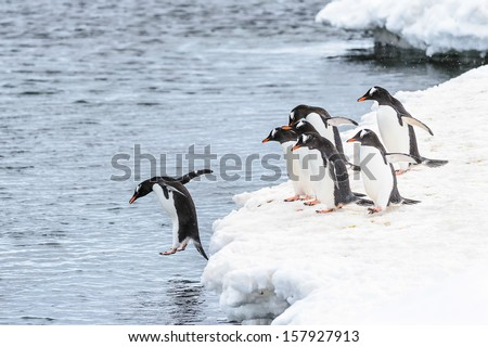 One gentoo penguin jumps into the water and his friends watch him do it - stock photo