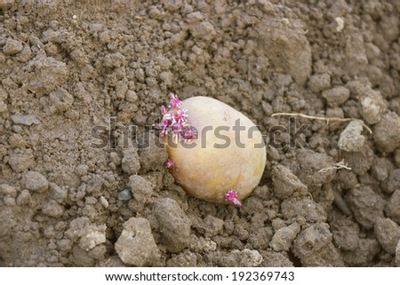 One germinated potato planting in the ground - stock photo