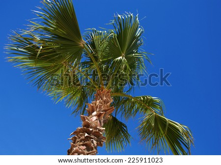 one green date palm tree over blue sky - stock photo