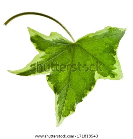 One Green leaf ivy leaf close up macro isolated on white background - stock photo