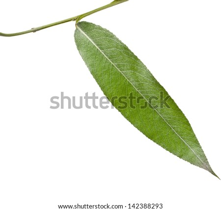One green leaf of silver weeping willow  isolated on white background - stock photo