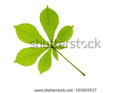 One leaf of horse chestnut (Aesculus hippocastanum), before a white background - stock photo