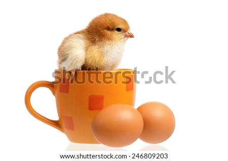 One little chicken on cup and two eggs, isolated on white background - stock photo