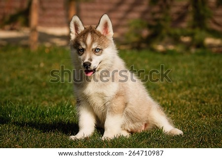 One Little cute puppy of Siberian husky dog outdoors - stock photo
