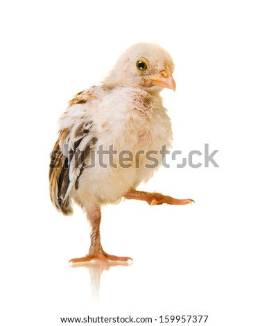 one little nestling chick,  on white background, isolated - stock photo