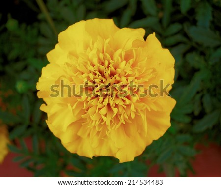 one marigold flower, natural background - stock photo