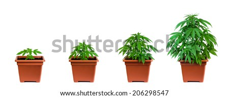One marijuana plant in four growing phases - stock photo