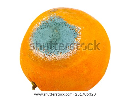 One moldy and rotten orange isolated on a white background - stock photo