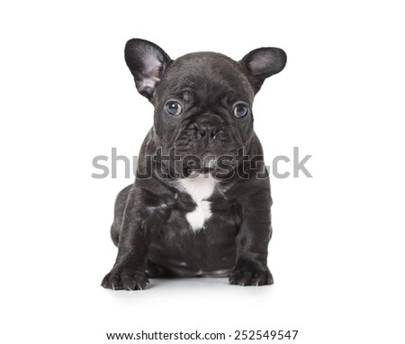 One month old French bulldog puppy sitting in front of white background  - stock photo